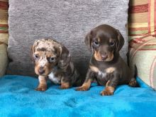Male and female Dachshund puppies text us at (306) 500-3579