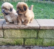 Beautiful and healthy Lhasa Apso Puppies