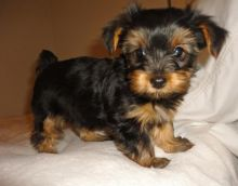 cute yorkies for new home