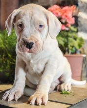 Dogo Argentino~ 1st and 2nd Shots Completed