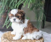 Shih Tzu~ 1st and 2nd Shots Completed