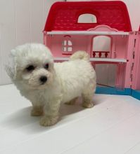 Bichon Frise~ 1st and 2nd Shots Completed