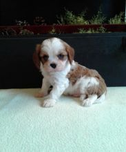 Cavalier King Charles Spaniel~ 1st and 2nd Shots Completed