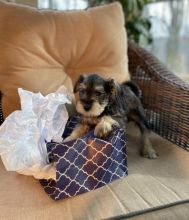 Miniature Schnauzer~ 1st and 2nd Shots Completed Image eClassifieds4U
