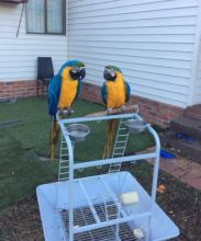 Beautiful Blue And Gold Macaws Available