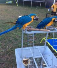 Beautiful Blue And Gold Macaws Available Image eClassifieds4u 2