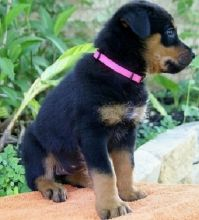 charming looking Rottweiler puppies for adoption (903>5020>785