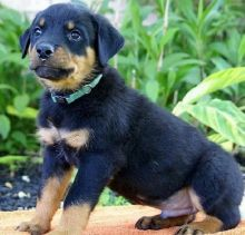 House male and female Rottweiler puppies. (903>502>0785