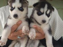 Cutest Blue eyes Male and Female Siberian Husky Puppies Ready