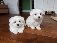 Maltese puppies available For Adoption