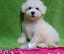 C.K.C MALE AND FEMALE LHASA APSO PUPPIES AVAILABLE