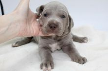 lovely Great Dane puppies for adoption