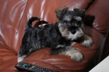 Miniature Schnauzer puppies looking for a good home