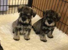 Top Class Miniature schnauzer puppies