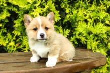 Adorable Welsh corgi puppies for adoption into new homes