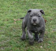 very pretty Staffordshire Bull Terrier puppies