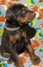 high intelligence Doberman Pinscher puppies