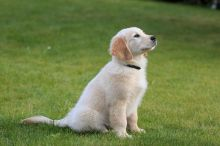 male and female Golden Retriever puppies available (306) 500-3579 http://cutepuppies.site/