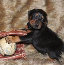 gorgeous Doberman Pinscher puppies ready now
