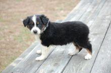 ✔ ✔ Remarkable ☮ Ckc ☮ Australian Shepherd ☮ Puppies ☮ Available ✔ ✔ Image eClassifieds4U