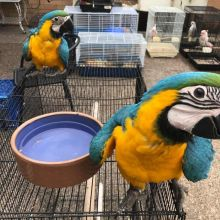 Healthy, trained and tamed parrots and fertile parrots eggs