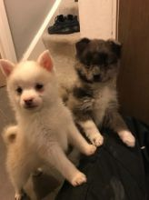 Pomsky Pups Ready Now