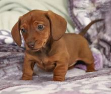 Dachshund~ 1st and 2nd Shots Completed
