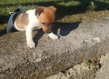 Jack Russell Terrier~ 1st and 2nd Shots Completed
