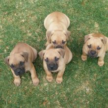 well trained boerboel puppies for free adoption (306) 500-3579