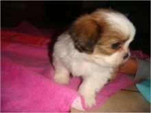 Home Raised shih tzu Puppies For Adoption
