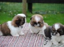 Shih Tzu 2 females 1 male ready for new homes