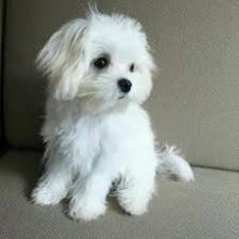 Maltese Puppy Ready For A New Home