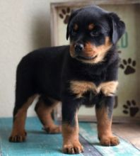 Qdsfzsd Charming Kc Registered Rottweiler Puppies