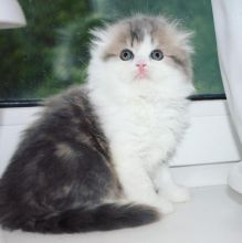 Beautiful scottish fold kittens.