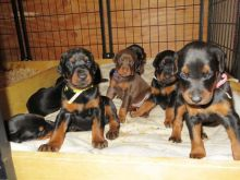 Male and Female Doberman Pinscher Puppies Available Now