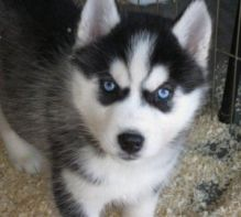 One male and two female Siberian Husky puppies for rehoming (306) 500-3579