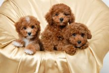 Three Top Class Toy Poodle Puppies Available