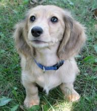 100% purebred breed male and female Dachshund - Miniature Puppies for adoption.