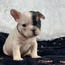 Amazing French Bulldog puppies for adoption