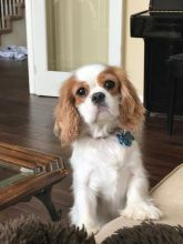 Cavalier KING CHARLES SPANIEL PUPPIES READY NOW!(306) 500-3579