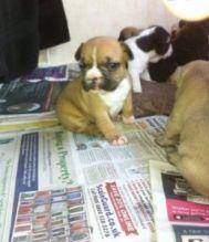 Cute French Bulldog Puppies(306) 500-3579