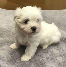 Exceptional CKC Maltese Puppies (306) 500-3579
