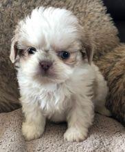 Super Pretty shih-tzu Puppies For Adoption