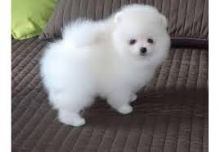 We have 4 teacup Pomeranian that we are looking to get them a promising home.(306) 500-3579