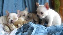 Adorable French bulldog puppies (306) 500-3579