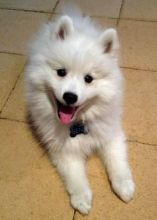 ****Healthy Japanese Spitz puppies available ****
