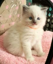 I have a beautiful litter of Ragdoll kittens available (306) 500-3579