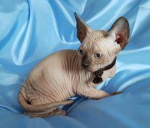 Adopt Lovely Sphynx kittens (306) 500-3579