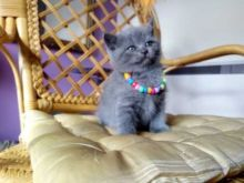 Blue Scottish Fold Kittens Open For Reservations and adoption (306) 500-3579