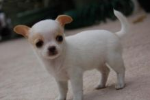 chihuahua puppies for adoption (306) 500-3579